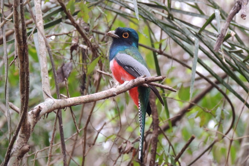 Passeio Recanto Ecológico Rio da Prata - Surucu-de-barriga-vermelha -Uma das aves-avistadas em birdwatching na Fazenda Cabeceira do Prata Foto Bruno Rocha