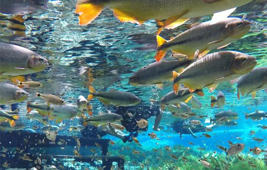 Aquário Natural - 800 metros flutuando em uma nascente de águas cristalinas